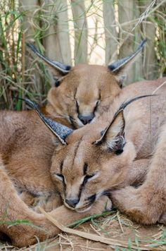 Caracal, Amazing and Exotic Feline as a Pet #Caracal #Caracalcat #Caracalpet