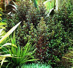 Dense shrub with lovely dark red tones Plant Design, Garden Design, Red S, Dark Red, Native Plants, Dream Garden, Garden Plants, Shrubs, Wilderness