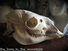 Taxidermy / Natural History Llama Skull - Superb Quality / Ex Museum Specimen Skull And Bones, Taxidermy, Natural History, Skulls, Museum, Nature Study, Skeletons, Museums, Skull