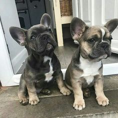 French Bulldog Puppies #frenchbulldogpuppy #buldog