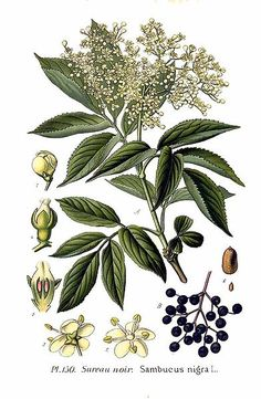 Long discussion about the Elder plant, the history/folklore, and most importantly: the potential for cyanide poisoning and how to properly process both flowers and fruit.