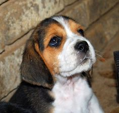 Great Beagle Chubby Adorable Dog - 069908055c83b535ae8f88a17d6ef484--cute-dog-photos-animal-pictures  Image_746532  .jpg
