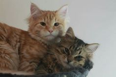 Siberian cat Brothers 1 year old. Lucifer and yato