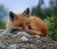 Red Fox Cub by Sebastian Saarloos