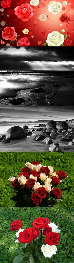 red and white roses, Roses HD Widescreen
