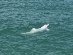 A rare white dolphin is near extinction. Demand that the American government step in and classify the species as endangered so that its population can thrive and increase.