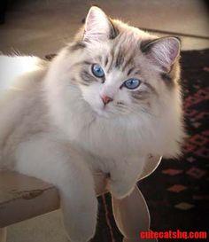 Adult Ragdoll cat