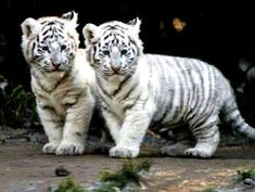 He looks at the pelt of the tiger and kills it. It is illegal to kill a Bengal tiger, but some still do it. The population of tigers are getting dangerously low. Baby White Tiger, White Tiger Cubs, White Bengal Tiger, White Tigers, White Lions, Beautiful Cats, Animals Beautiful, Cute Baby Animals, Funny Animals
