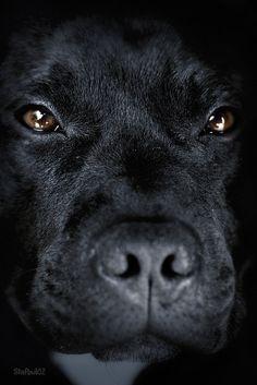 I had one of these, the best dog ever x Black Labrador Retriever Dog