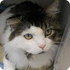Domestic Longhair Cat for adoption in Denver, Colorado - Grady