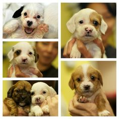 8 week old Doxie/Shih Tzu puppies ready for adoption!