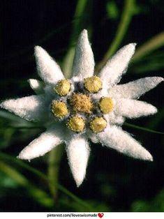 "The national flower of Switzerland.  ""Eidelweiss, Eidelweiss, every morning you…"