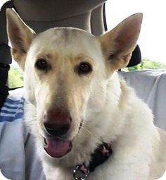 Pictures of Gracie a German Shepherd Dog Mix for adoption in Garland, TX who needs a loving home.