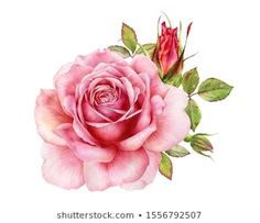 Find Watercolor Illustration Delicate Pink Rose Decorative stock images in HD and millions of other royalty-free stock photos, illustrations and vectors in the Shutterstock collection. Thousands of new, high-quality pictures added every day. Illustration Botanique, Plant Illustration, Botanical Illustration, Watercolor Illustration, Diy Projects Etsy, Book Furniture, Flower Art Drawing, Vinyl Paper, Watercolor Rose