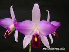 Laelia anceps guerrero - orchidorama.free.fr