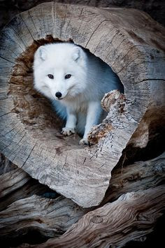 Arctic Fox in a Log. Arctic fox joins the Polar Bear on new list of Arctic species in danger of extinction