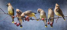 row of birds on a branch | row of waxwings with crabapple fruit by R Christopher Vest