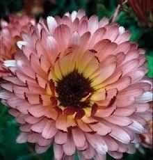 pink calendula flower - Grace, October Birth Flower