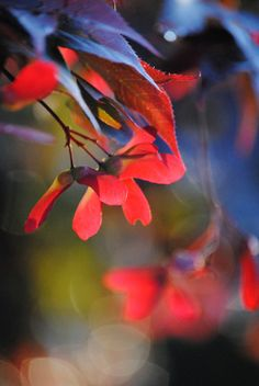 Nature photography Midnight Blues Japanese Maple seeds fine art photograph