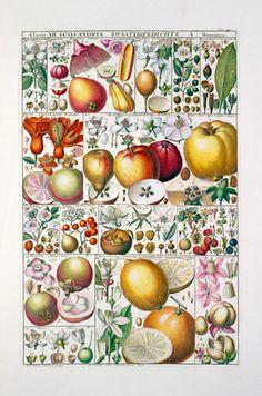 Johannes Gessner -- Plate 33 -- Bestsellers -- RHS Prints