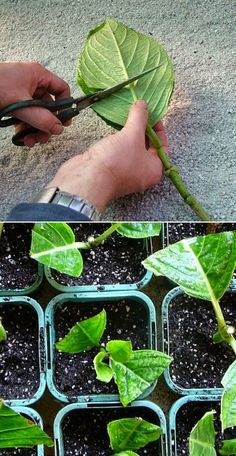 How to Grow Hydrangea From Cutting: First Find a hydrangeas and cut some small branches. Place your cuttings in water, at . How to Grow Hydrangea From Cutting: First Find a hydrangeas and cut some small branches. Place your cuttings in water, at . Hydrangea Landscaping, Front Yard Landscaping, Landscaping Ideas, Garden Care, Growing Plants, Growing Vegetables, Hydrangea Care, Growing Hydrangea, Hydrangea Plant