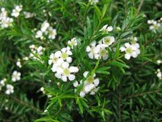 Camphor Bush (Baeckea camphorata) • Can grow to 6ft - white flowers - partial to deep shade - flowers summer to spring