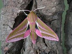 Difficult to know where to put this incredible moth - colour inspiration indeed it is - texture - that too and of course nature.  Elephant Hawk Moth my favourite moth - what a colour combination.  The caterpillars live on Rosebay Willow Herb- and you can see that in the wings.