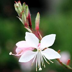 Gaura (G. lindheimeri) - LOVE this tall lanky flower.  So pretty swaying in the garden...and the hummers love it!