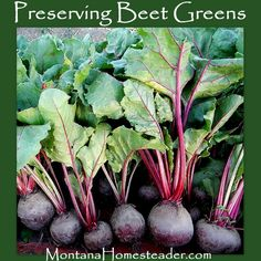 How to preserve beet greens.  Montana Homesteader