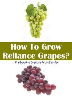 10 Persevering Clever Ideas: Grape Trellis Fence Garden Arches how to grow grape. 10 Persevering Clever Ideas: Grape Trellis Fence Garden Arches how to grow grapes from plant. Diy Trellis, Trellis Fence, Trellis Ideas, Fence Garden, Diy Fence, Tomato Trellis, Herb Garden, Grape Tree, Grape Plant