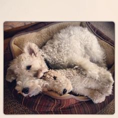 Wired haired fox terriers