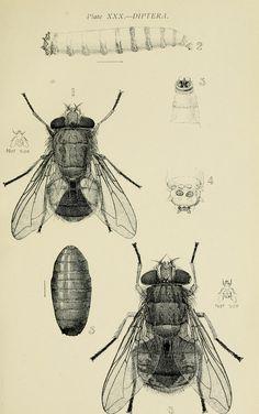 Diptera~Sydney,W. Brooks[1907].
