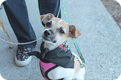 Pitt Meadows, BC - Jack Russell Terrier/Chihuahua Mix. Meet Dorothy, a puppy for adoption. http://www.adoptapet.com/pet/14012945-pitt-meadows-british-columbia-jack-russell-terrier-mix