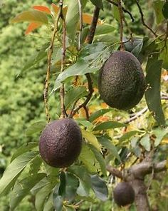This Cold Hardy Avocado variety is the most popular because they are heavy producers. easily grown… and produce delicious fruit. Trees planted outdoors grow from feet tall. A commercial orchard tree can produce avocados annually. Fruit Garden, Edible Garden, Vegetable Garden, Garden Plants, Fruit Trees, Trees To Plant, Avocado Nutrition, Avocado Tree, Avocado Oil