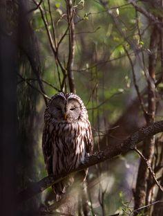 Ural owl #owl