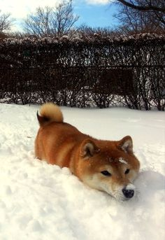 Shiba Inu in snow love this breed of dogs! Cute Puppies, Cute Dogs, Dogs And Puppies, Corgi Puppies, Akita, Chien Shiba Inu, Shibu Inu, Animals And Pets, Cute Animals