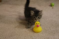 """Runner Up. Clark, adopted from Animal Rescue League of Iowa, Inc. - Des Moines, IA: """"Clark is quacking me up ! Animal Rescue League, Kittens And Puppies, Cute Animal Pictures, Cute Creatures, Cool Pets, Crazy Cat Lady, Cute Cats, Fur Babies, Dog Cat"""