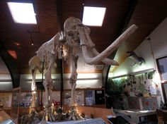 Dee, the largest Colombian Mammoth on display; Tate Museum at Casper College Casper Wyoming, Travel Guides, Trip Advisor, Lion Sculpture, Museum, College, Display, Statue, Photo And Video