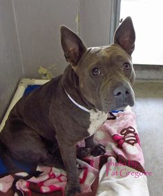french bulldog pitbull mix pitbull french bulldog mix 7823