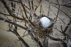 Snow filled birds nest. To view hi res image visit www.juliepalencia.com