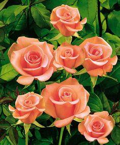 Rosa 'Salmon Beauty' -- Buske