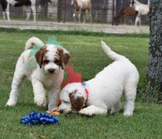 We raise these DEEP RED RED PARTI poodles in texas! www.legacy-labs.com litter available now!