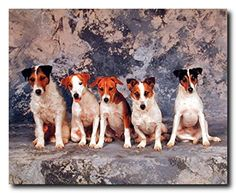 This amazing poster will add a class to your living room. This poster display the image of trrrier dogs sitting together looking at something, that sure to catch the attention of everyone. This wall poster is made by using high degree of color accuracy that will not fade or discolor. Ideal gift for every dog lovor. Russell terrier dogs are tend to be aggressive with other dogs and will chase cats and other small animals. This poster ensures the quality and color accuracy.