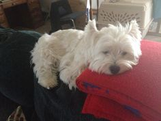 Marleigh the Westie - completely adorable!!
