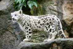 Snow leopard-Animal Tracks: Sept. 12 - 18 - Slideshows and Picture Stories - TODAY.com
