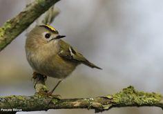 Photographie de Pascale Bécue : Roitelet huppé (Regulus regulus), parc du Marquenterre (Somme), le 15/12/2012. #ornithologie #oiseaux #nature