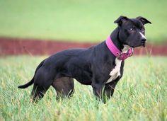 apbt:  Beautiful#pitbulls #dog breeds #canine pet #dogs #pitbull puppy #pitbull dog #pitbull breeds #red nose pitbull #pitbull terrier #apbt #staffordshire terrier #amstaff #english terrier #black pitbull #moo moo pit #chocolate pitbull #pitbull poodle #blue nosed pit #pitbull mutt #mans best friend #4 month old pitbull