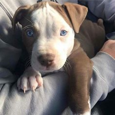 This sweet pitbull puppy will warm your heart. Dogs are wonderful companions. Pit Bull Dogs, Cute Dogs And Puppies, I Love Dogs, Doggies, Puppies Puppies, Retriever Puppies, Chihuahua Dogs, Pet Dogs, Cute Baby Animals