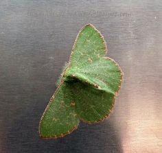 Snapshots of Beauty: KERMOTH - Emerald moth.