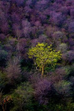 Colorful Nature - purple and green tree Alwar landscape nature Shades Of Purple, Green And Purple, Heather Plant, Green Landscape, Green Trees, Large Art, Nature Pictures, Natural World, Landscape Photography